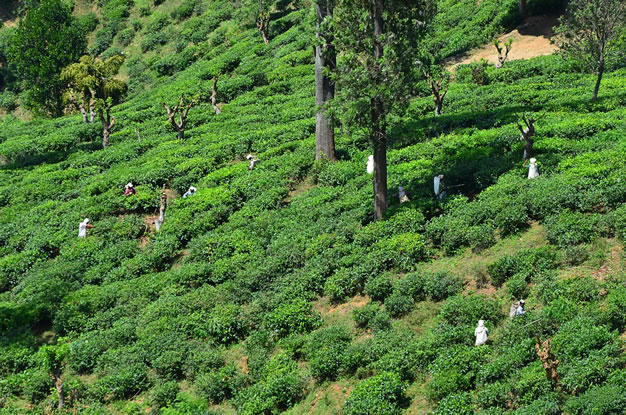 Workers harvest pu erh tea from large trees and bushes